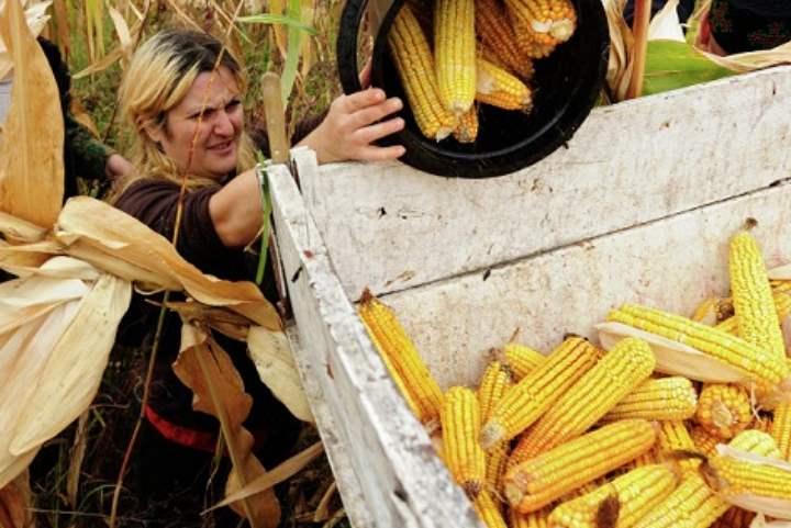 Кукурузное выращивание из семян