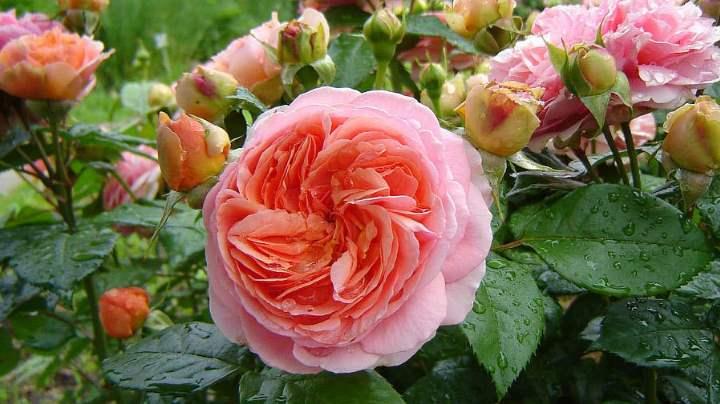 Роза шраб Чиппендейл