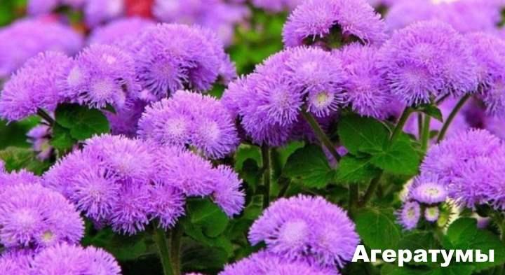 Бордюрные цветы - Агератумы