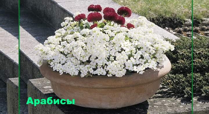 Бордюрные цветы - Арабисы