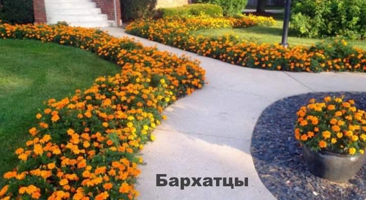 Бордюрные цветы - Бархатцы