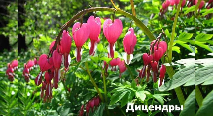 Бордюрные цветы - Дицендры