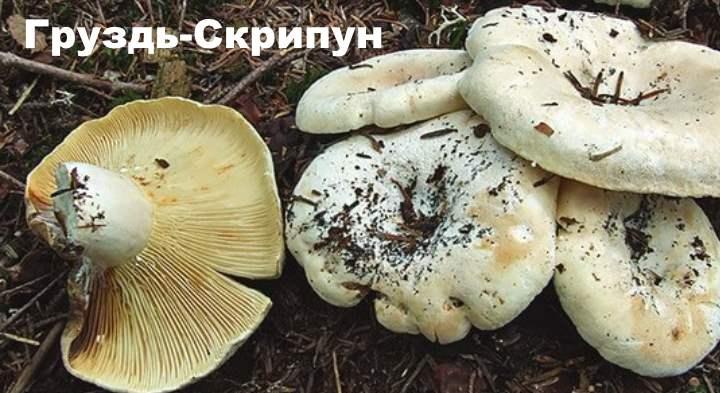 Разновидности груздей - Скрипун