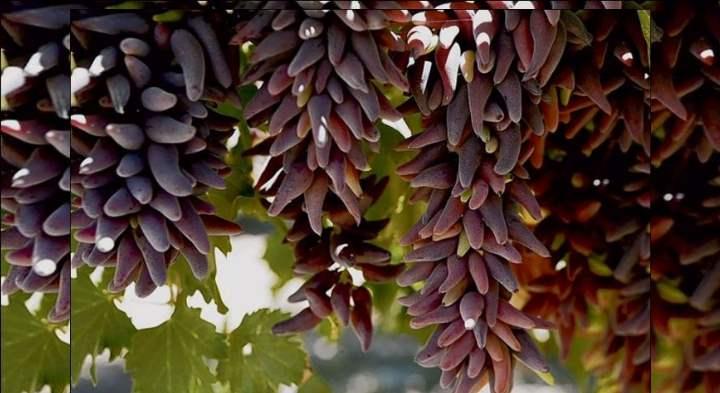 Синие сорта винограда