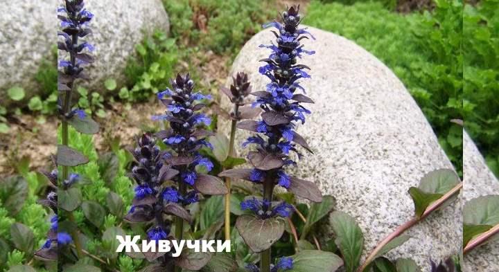 Бордюрные цветы - Живучки
