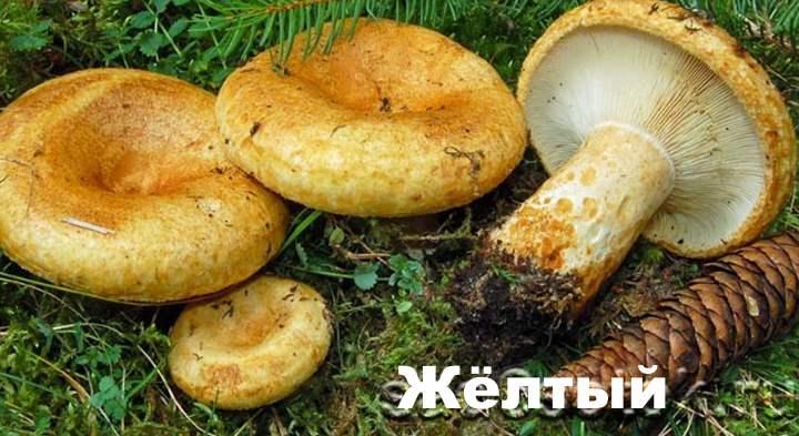 Разновидности груздей - Жёлтый
