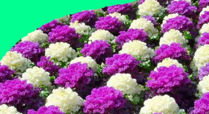 Бело фиолетовый бордюр