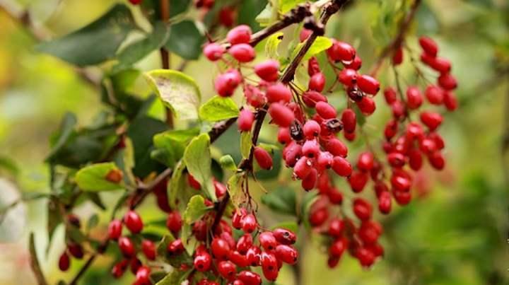 Недозревшие ягоды ядовиты, помните это при их сборе.