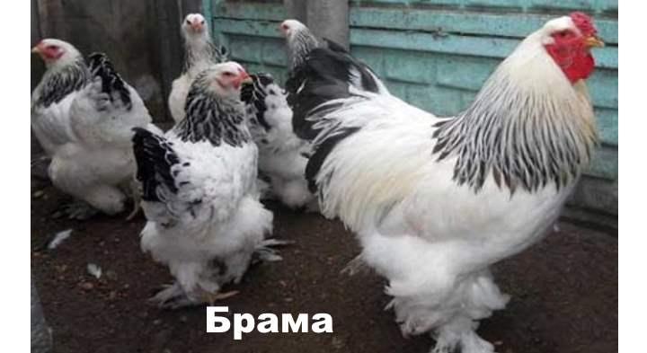 Порода курицы - Брама