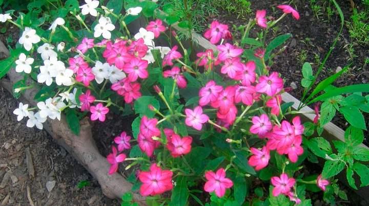 Из-за своей теплолюбивости это растение зачастую однолетник