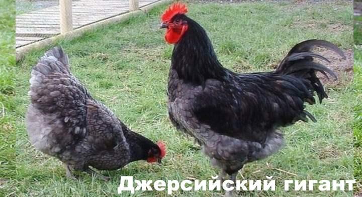 Порода курицы - Джерсийский гигант