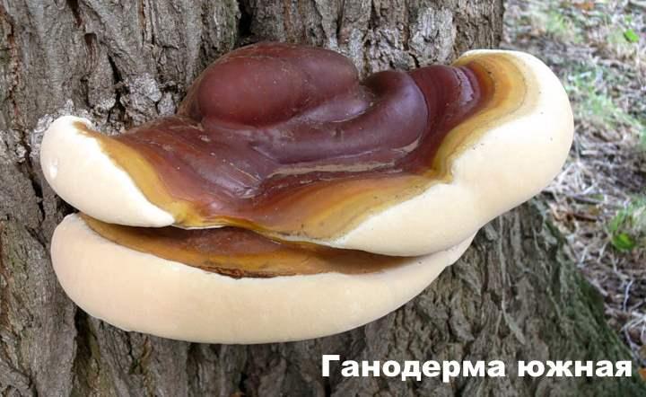 Вид несъедобного древесного гриба - гангродерма