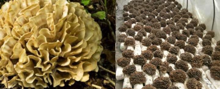 Съедобный гриб, в лесах его можно увидеть крайне редко