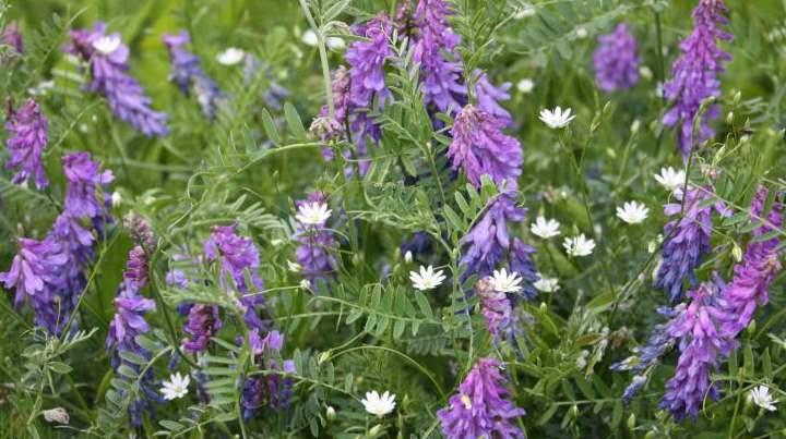 Цветы люцерны синей