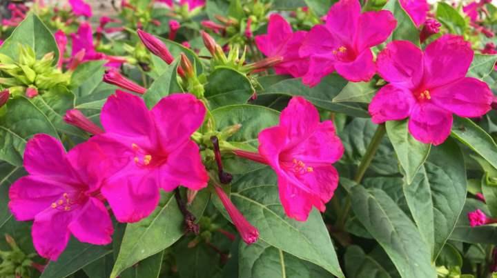 Ночная красавица второе название растения