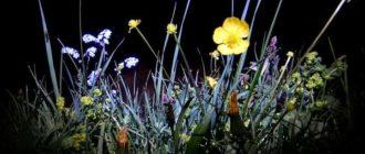 Когда дневной цвет закрывается или вянет, на смену приходят ночные цветы