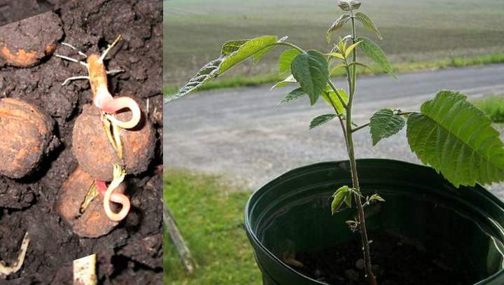 Ореховое дерево из семян
