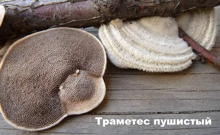 Вид несъедобного древесного гриба - пушистика