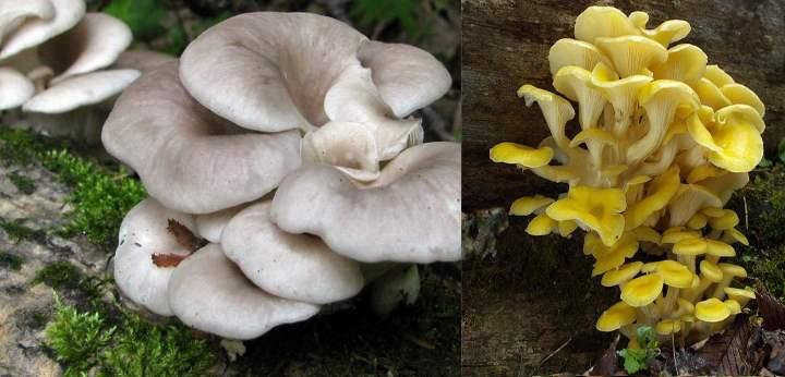 Шляпка у этого гриба выглядит как воронка
