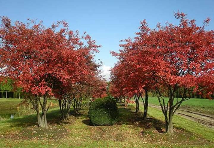 Вид дерева растения ирга