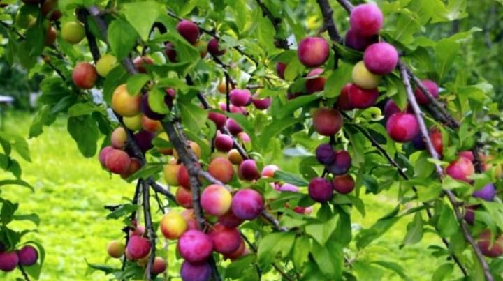 ветви саженца укорачиваются на 1/3 от длинны, само дерево обрезают, оставляя метр в высоту.