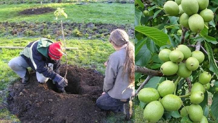 Ореховое дерево в грунте