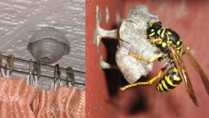 Как оса делает гнездо