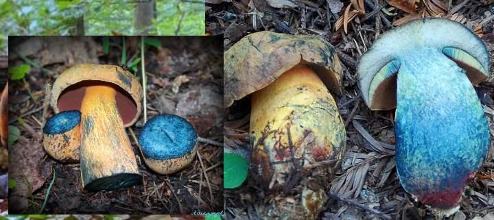 Синий гриб