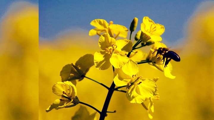 Яровой сорт рапса можно выращивать с первых весенних дней