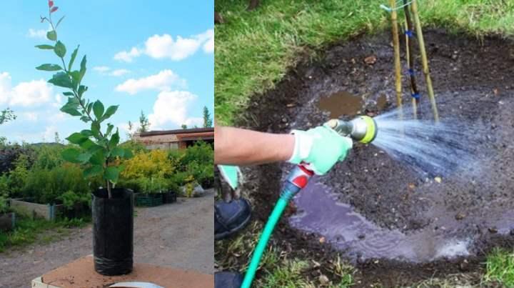 Важно понижение кислотности почвы в месте посадки