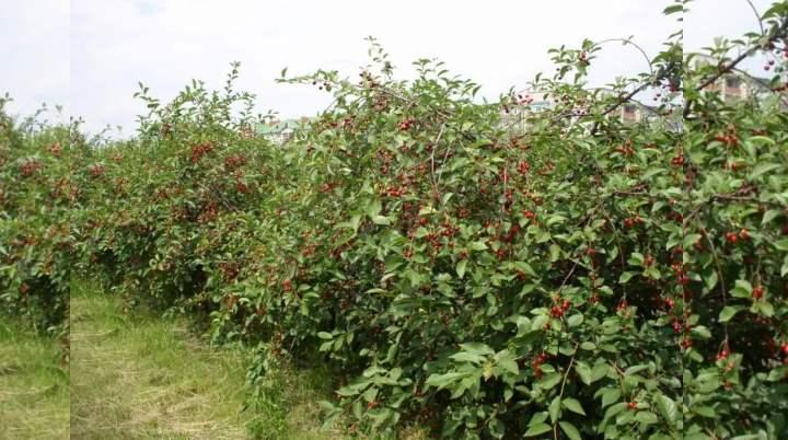 Десертный сорт вишни