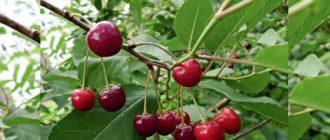 Десертный сорт вишни Морозовой