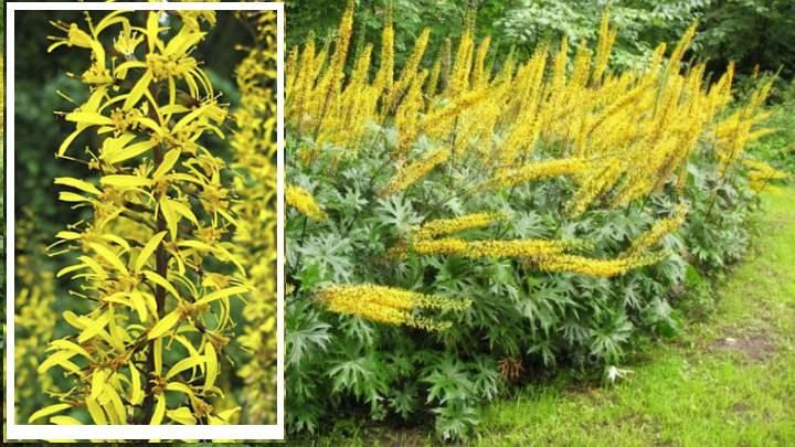 Бузульник Пржевальского считается растением Востока