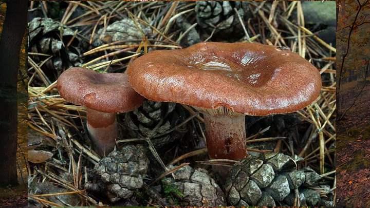 Гриб чаще встречается в ельниках, реже - в смешанных лесах