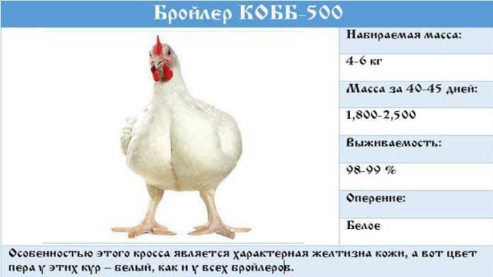 Уже через сорок дней вес курицы становится два с половиной килограмма