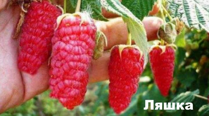 польский сорт ягоды, один из раннеспелых сортов