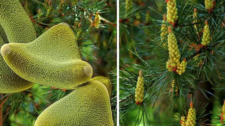 Полезные и лечебные свойства пыльцы сосны
