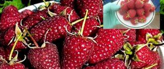 Ремонтантные сорта малины: минимум ухода – максимум урожая