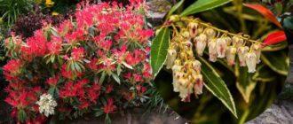 Растение можно отнести к медленнорастущим кустарниковым деревьям