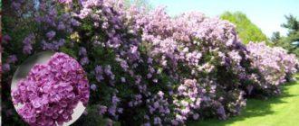 Сирень – невероятной красоты кустарник с приятным ароматом