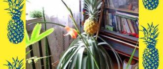 цветок ананаса изначально является соцветием мелких цветочков