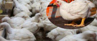 Преимущества выращивания бройлерных птиц