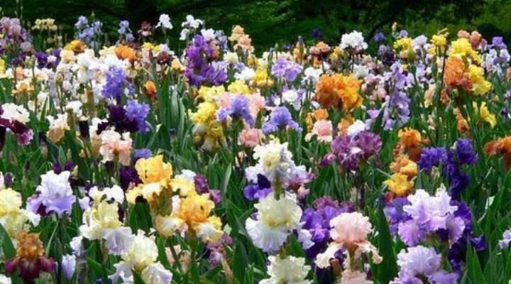 Разноцветные петушки