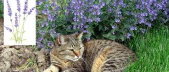Необычное название «котовник» – растение получило из-за своего запаха, так активно привлекающего котов