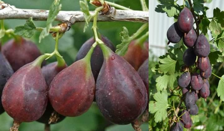 Размер плода крыжовника