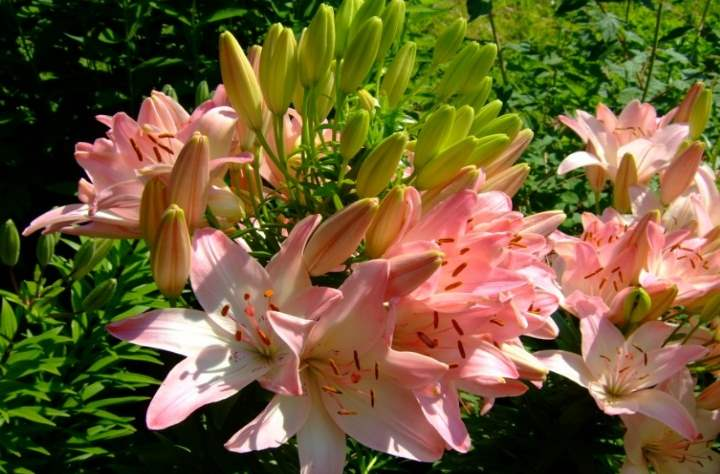 Лилейное дерево является гибридом лилии: Посадка- Уход +Фото и Видео и Инструкции