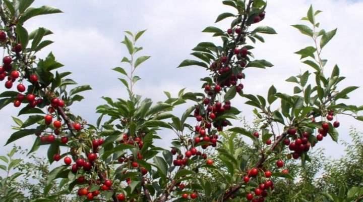 Вишня и плоды