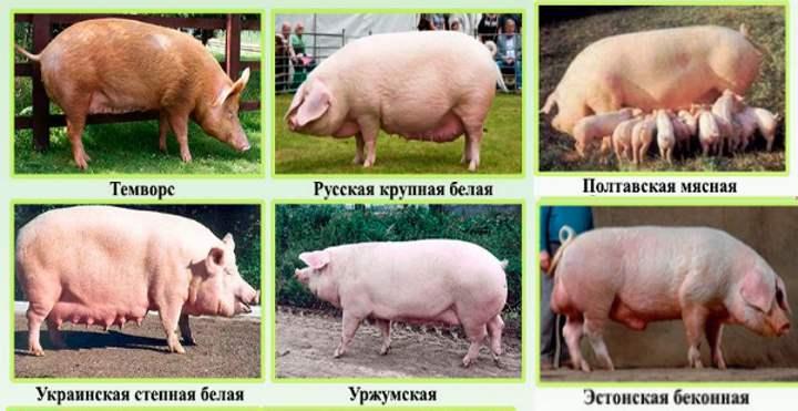 6 пород свиней