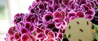 Пеларгония из семян в домашних условиях: пошагово