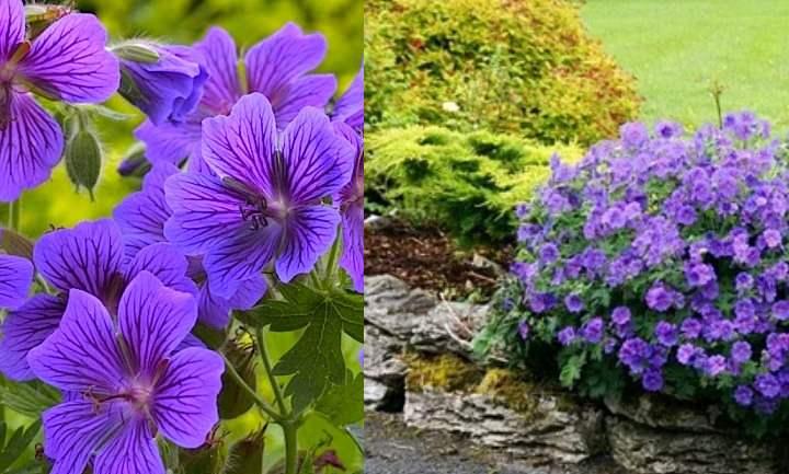Цветки растения около трёх сантиметров в диаметре